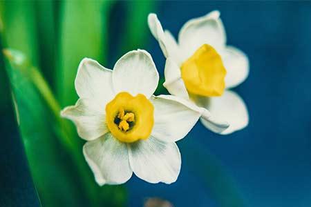 daffodil flower gemini zodiac flower