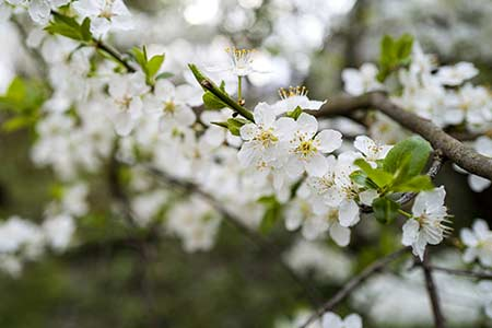 hawthorn flower of gemini