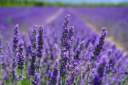 gemini flower lavender