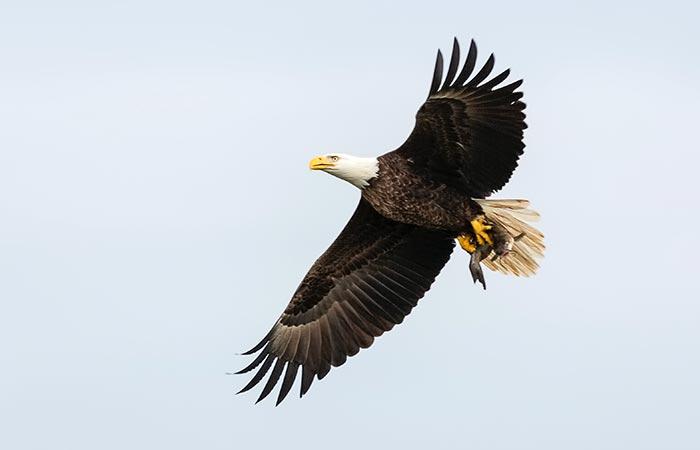 eagle aries animal spirit