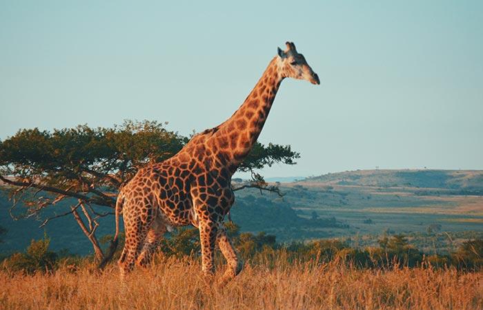 giraffe aries spirit animal