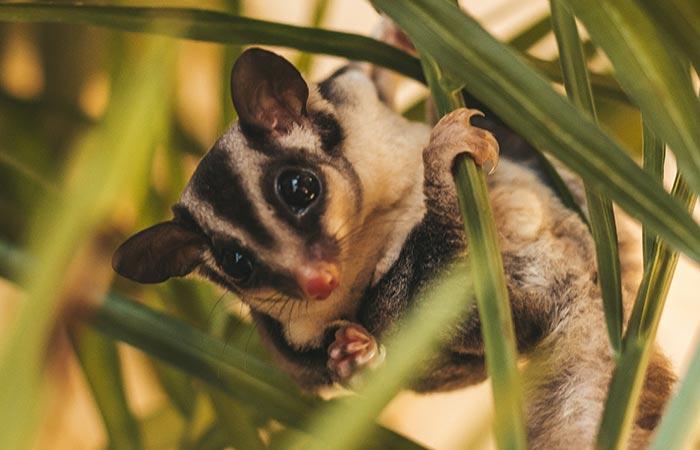 possum aries animal guide
